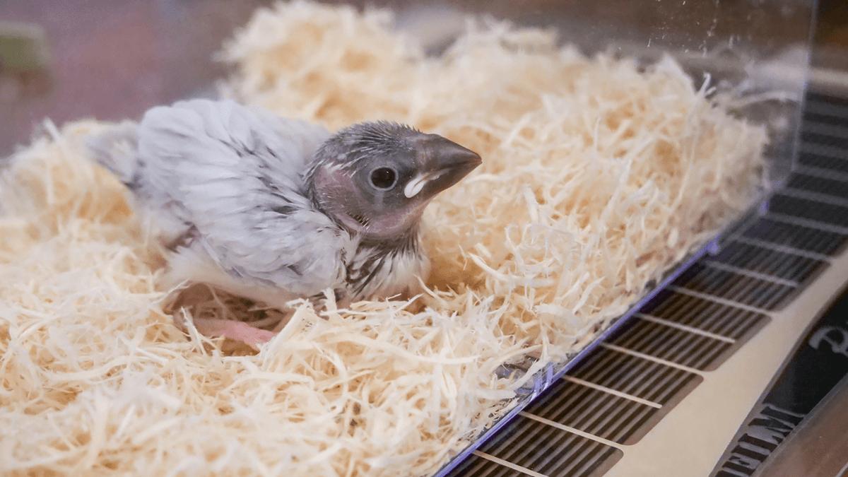 4月生まれのひな文鳥を飼いはじめました。挿し餌の作り方と与え方