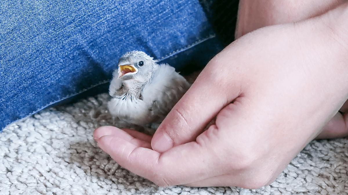 シルバー文鳥の平八