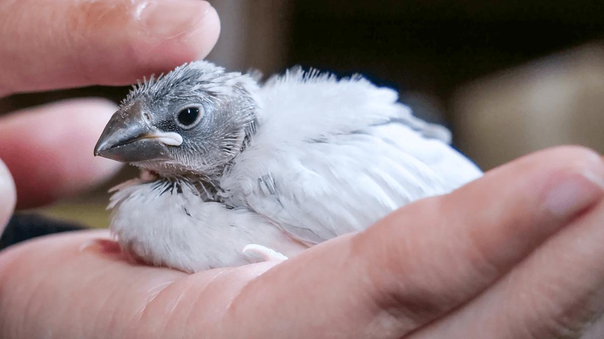 シルバー文鳥を飼いはじめて4日目。手乗りの練習を開始しています