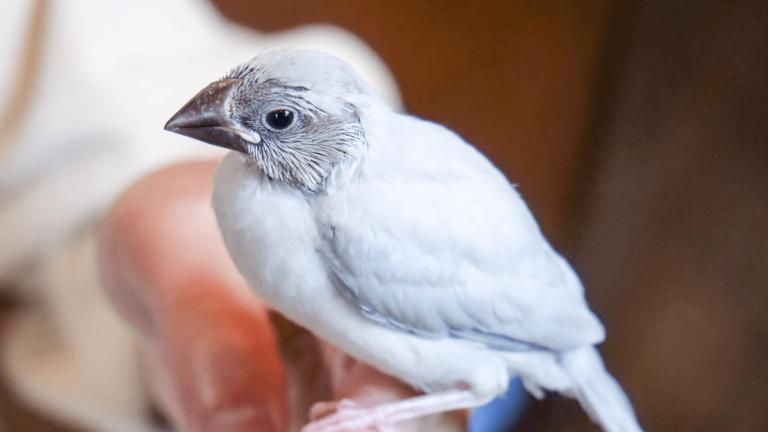 シルバー文鳥をお迎えして約1週間。初日といまの成長比較
