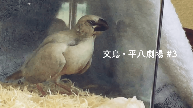 文鳥・平八劇場#3 平ちゃんは立ったまま寝ることができるのか?