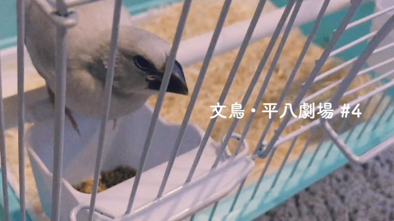 文鳥・平八劇場#4 ついに鳥かごデビュー。置き餌にもチャレンジ