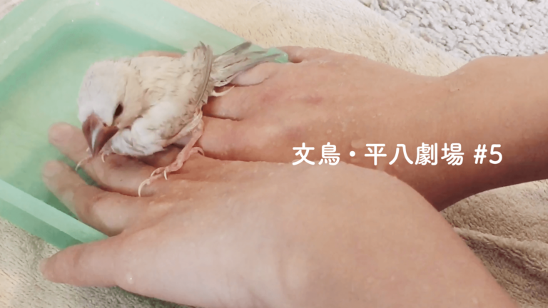 文鳥・平八劇場#5 はじめての水浴び。気持ちよさそうな平八さん