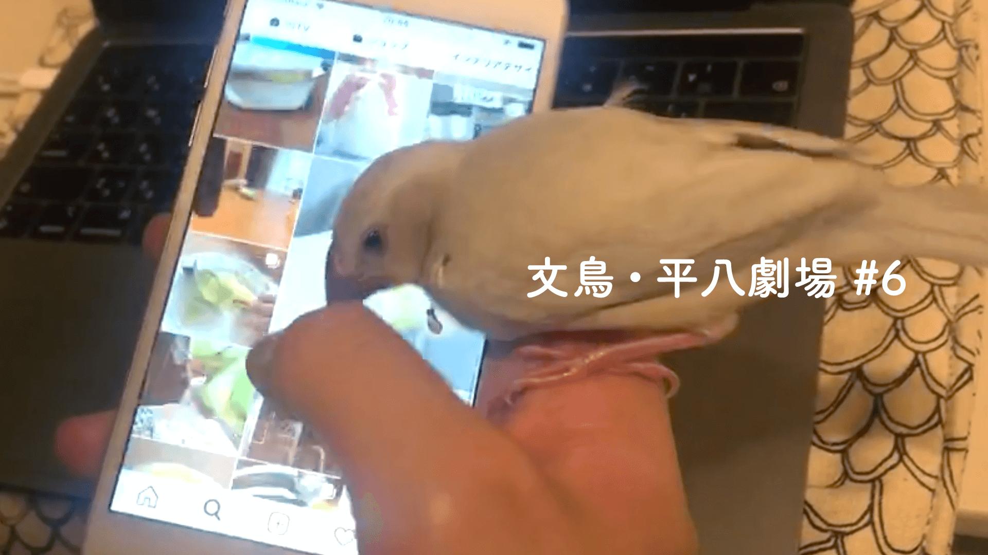 文鳥・平八劇場#6 スマホ操作の邪魔をする平八さん