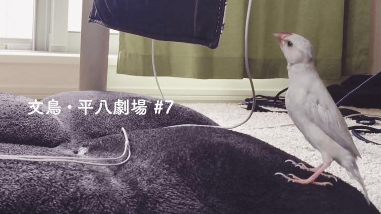 文鳥・平八劇場#7 イヤホンコードにいらだつ平八さん